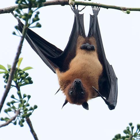 Indian Bat
