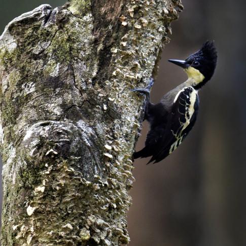 Heart-Spotted Woodpecker(Male)