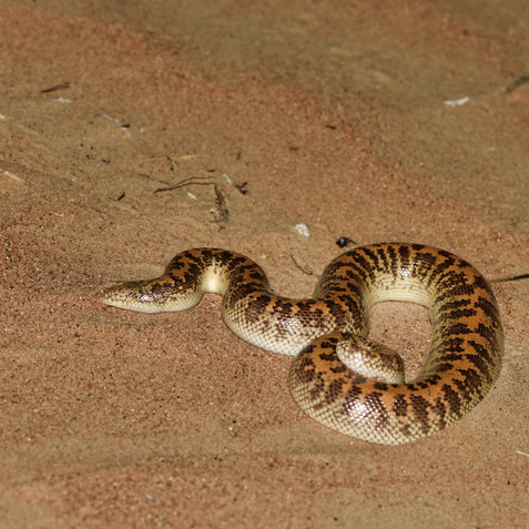 Sand Boa(Eryx jayakari)