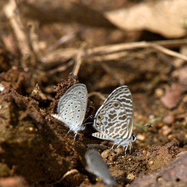 Common Cerulean പൊട്ടുവാലാട്ടി