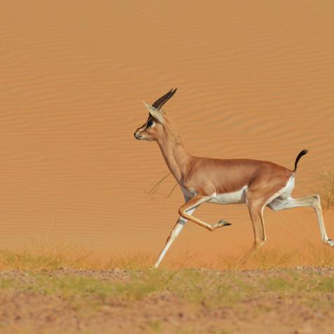 Arabian Gazelle