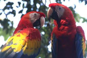 Introduction to our new behavioural study on the Scarlet Macaws!
