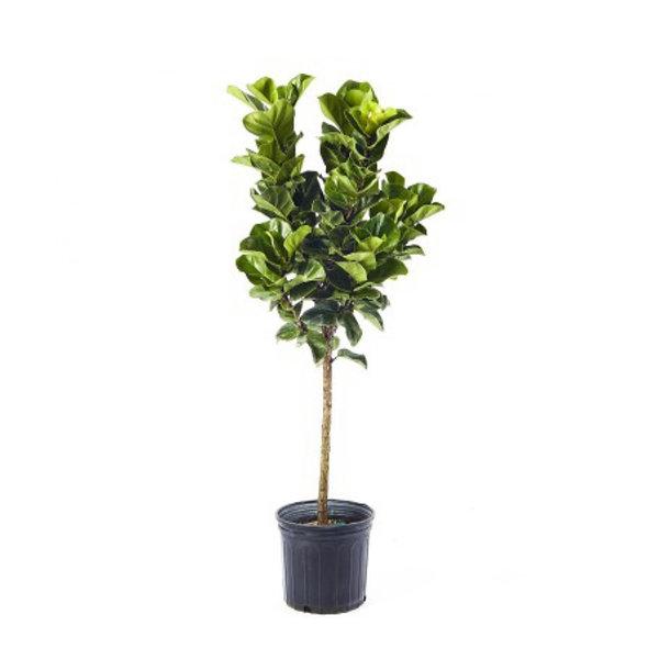 Ficus lyrata compacta 'Bambino'