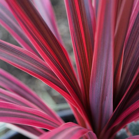 Cordyline australis 'Pink Passion'