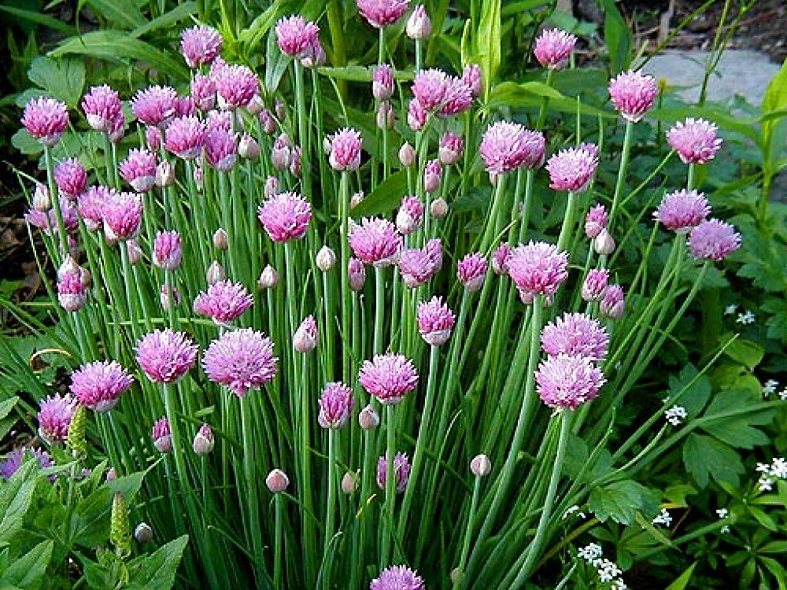 Chives 'Onion'