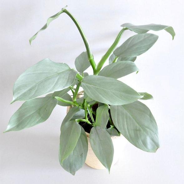 Philodendron hastatum