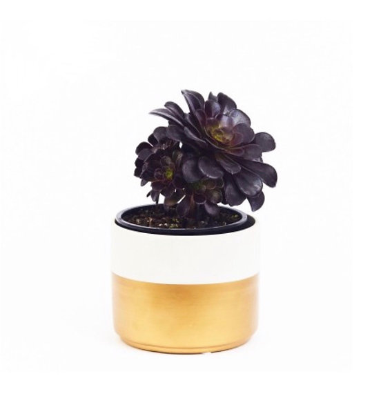Aeonium arboreum 'Zwartkopf'
