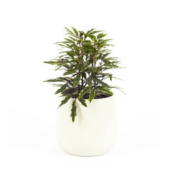 Plerandra elegantissima variegata