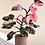Thumbnail: Philodendron 'Pink Princess'