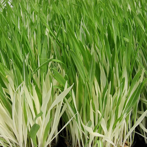 Cat Grass 'Tabby'