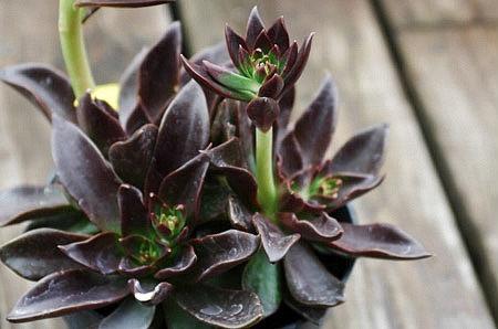 Echeveria 'Black Prince'