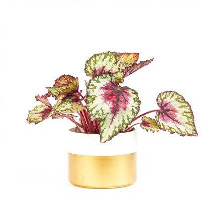Begonia rex-cultorum • Assorted