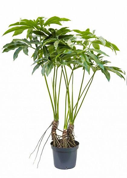 Philodendron goeldii 'Fun Bun'