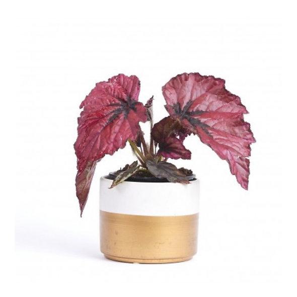Begonia rex-cultorum 'Ruby Slippers'