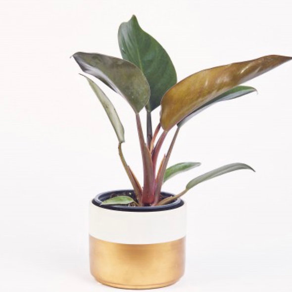 Philodendron 'Congo Rojo'
