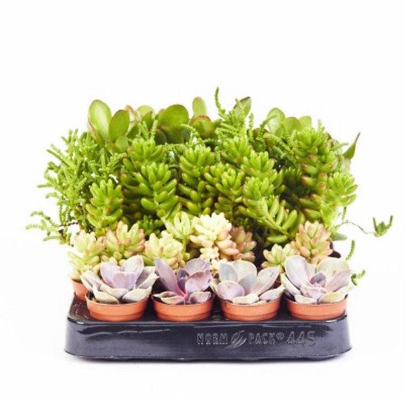 Succulents • Assorted Flat