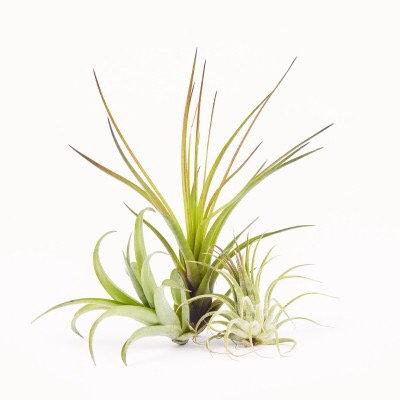 Tillandsia • Assorted Varieties
