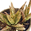 Thumbnail: Aloe 'Pink Blush'