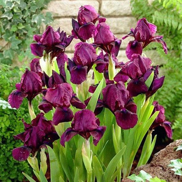 Iris pumila 'Cherry Garden'