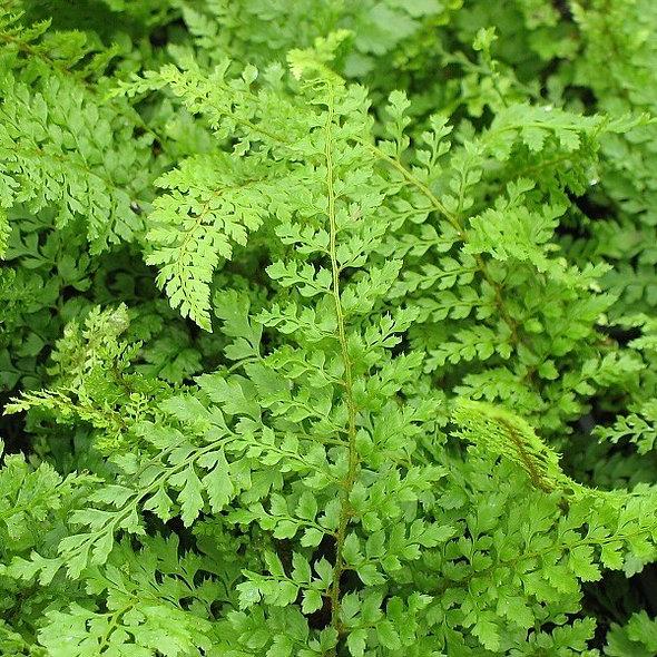 Polystichum setiferum divisilobum