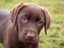 Labradorzucht vom Limberg Labradorwelpen Labradorzüchter Labrador Retriever Welpen NRW