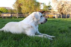 weisser Labrador Deckrüde Ole