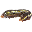 Army-Worm.png