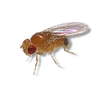 fruit-fly-png-1.png