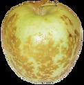 apple bitter bit.png