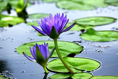 Violet lotus blooming in the pond..jpg