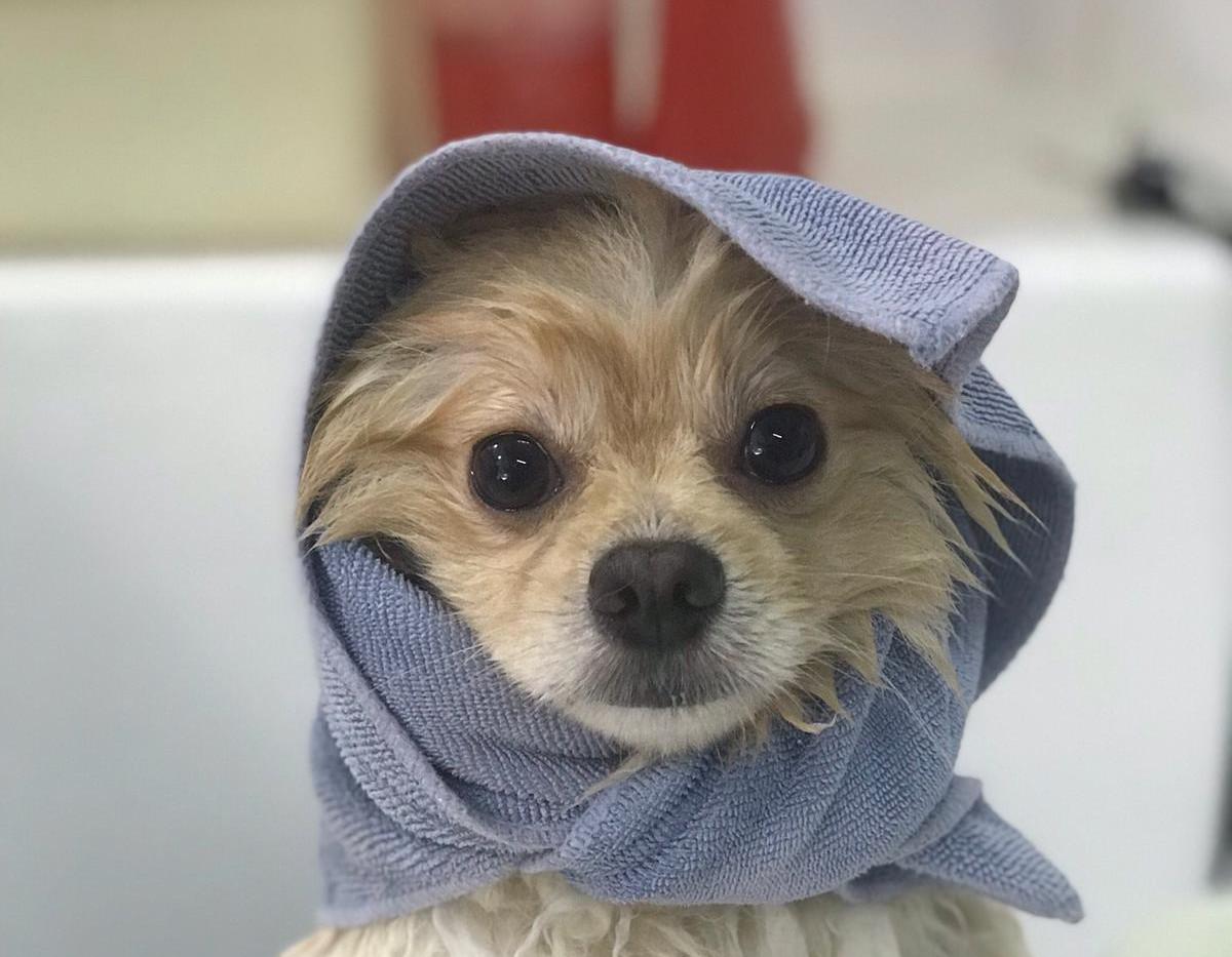 Pomeranian, Shower $25