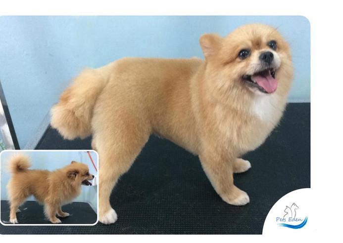 Pomeranian, Full Grooming $70 to $80