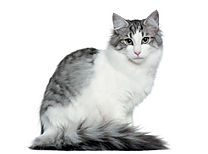Gray-Norwegian-Forest-Cat.jpg