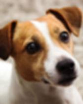 jack russell terrier.jpg