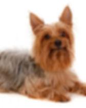 silky terrier.jpg