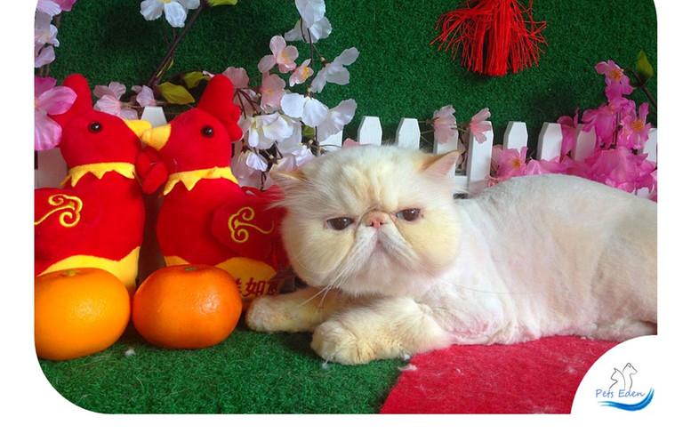 Persian Cat, Full Grooming (Lion Cut) $120