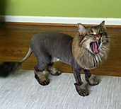 the lion cut 1.jpg