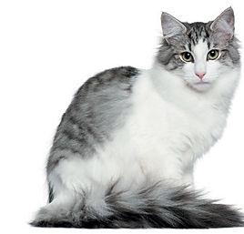 Gray-Norwegian-Forest-Cat.jpg