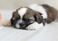 shih_tzu_hero_puppy-500x500.jpg
