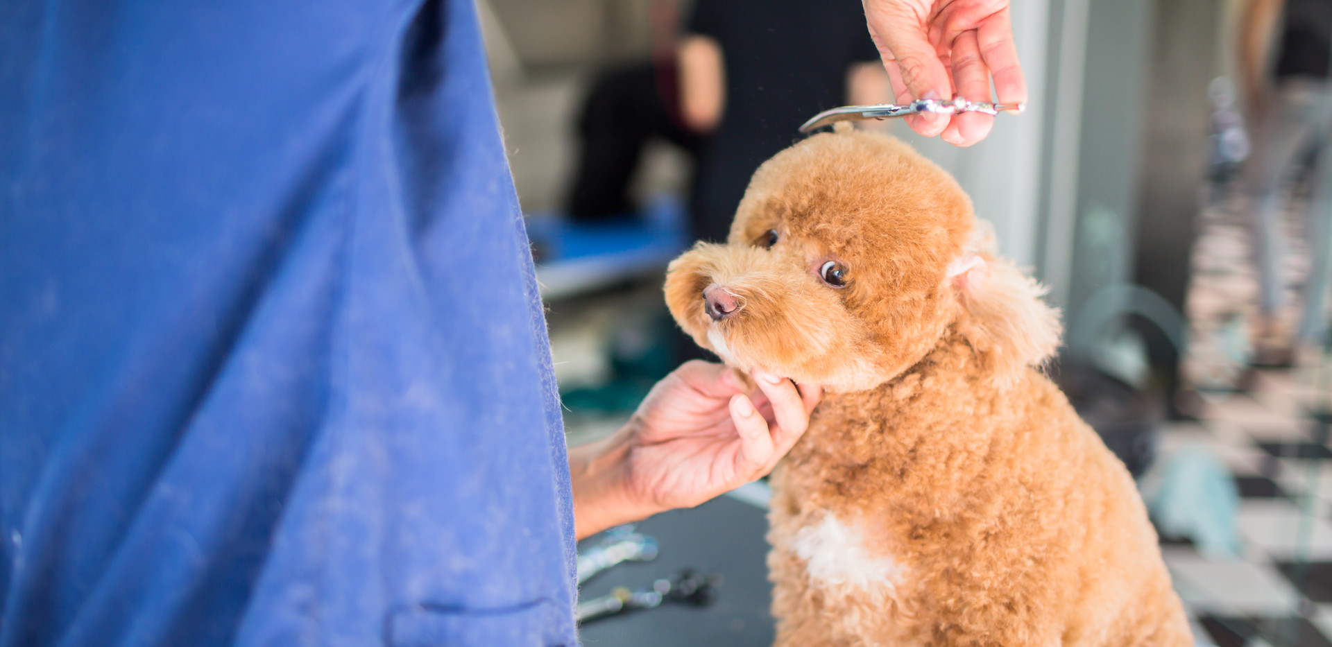 Toy Poodle, Haircut Only $30 to $50