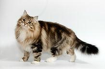 norweigian forest cat.jpg