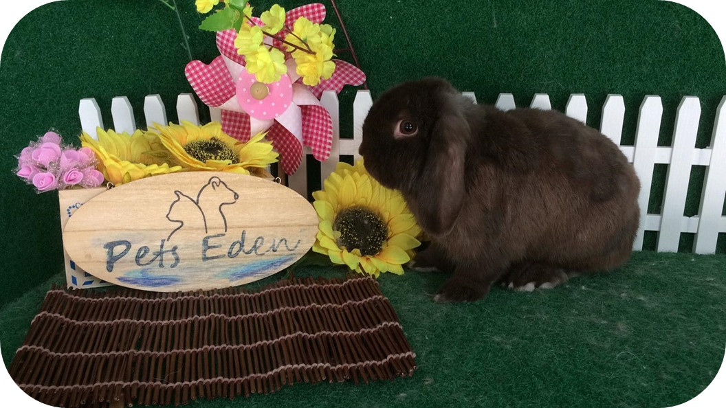 Holland Lop, Basic Grooming $35