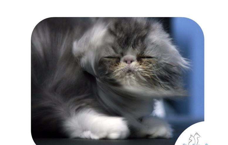 Persian Cat, Shower $60