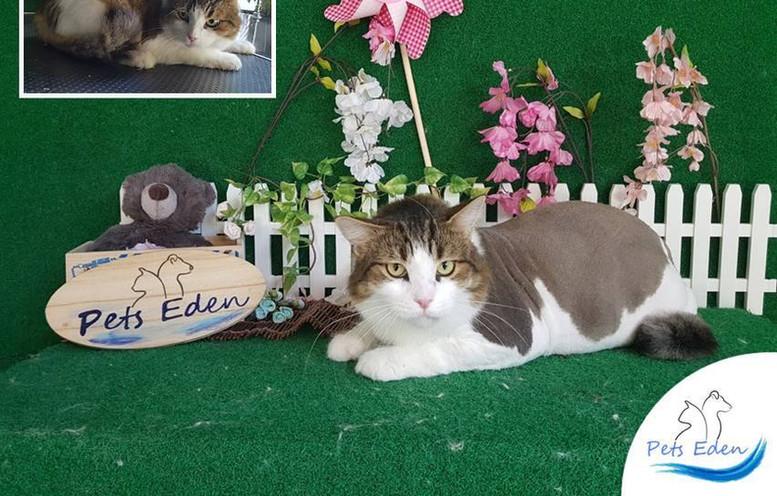 Domestic Short Hair Cat, Full Grooming (Lion Cut) $120