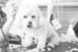 Dog Haircut_edited.jpg