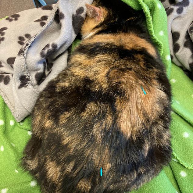 Akupunktur und Physiotherapie bei der Katze