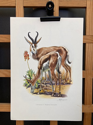 Planche d'histoire naturelle «antilope antidorcas»