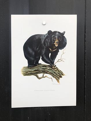 Planche d'histoire naturelle l'ours