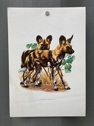 Planche d'histoire naturelle «Chien - Hyène»