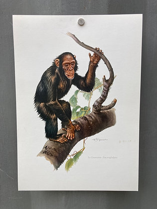 Planche d'histoire naturelle «le chimpanzé»